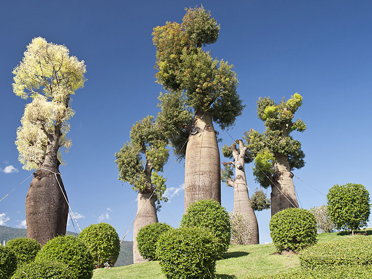 Polled and formed australian baobabs in Gregory National Park, Australia