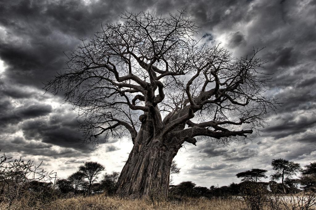 Baobab tree placed within Tarangire national park of Tanzania (Africa). The hilly landscape of park is dotted with vast numbers of Baobab trees