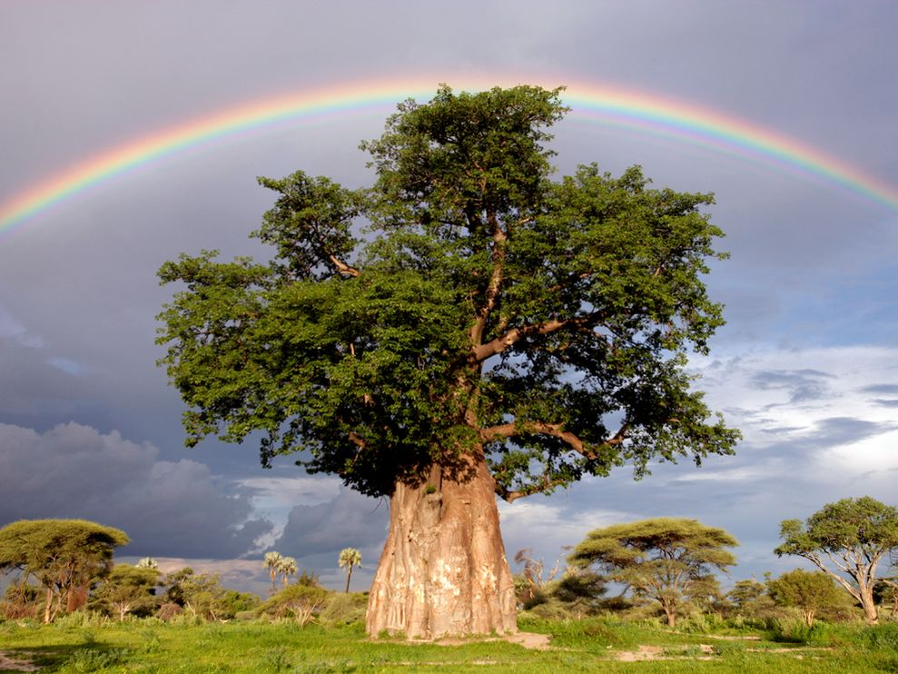Baobab tree and Rainbow (Moremi Game Reserve in Okavango Delta, Botswana -- picture by NationalGeographic