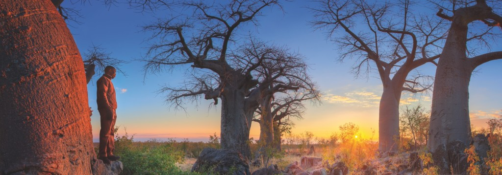 dawn baobab trees fine picture (Botswana)