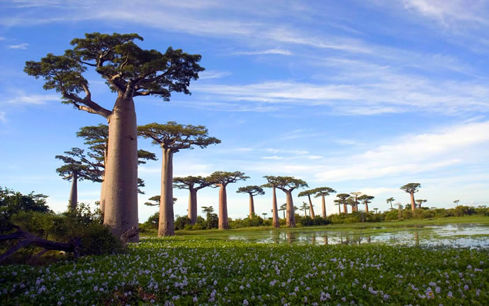 "Famous Avenue of the Baobabs (Menabe, Madagascar). Along the 260 m long Avenue placed 20 - 25 ""Adansonia grandidieri"" trees about 30 meters in height"
