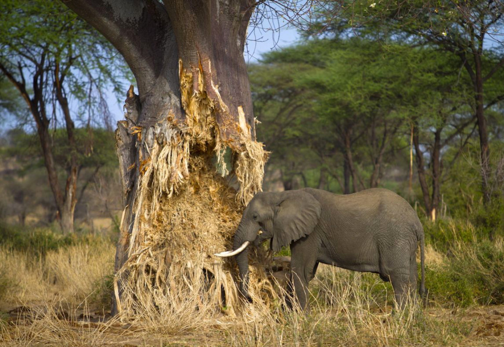 Snapshot: Elefant hits baobab tree. Elephant denudes the baobab to access water from wood pulp in the dry season