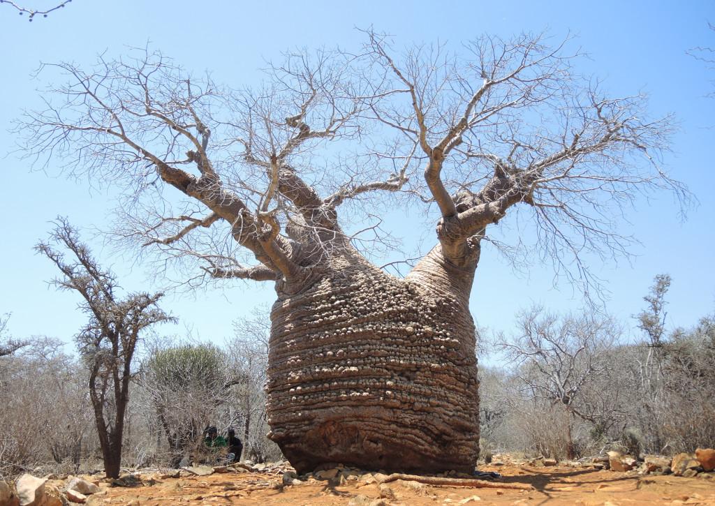 """Inflated"" baobab in Tsimanampetsotsa National Park in Madagascar, region Atsimo-Andrefana"
