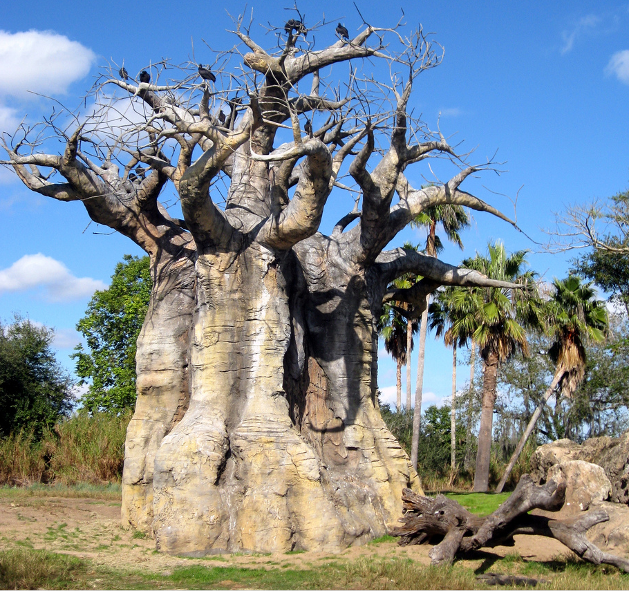 Beautiful Baobab tree near Kilimanjaro (Africa )