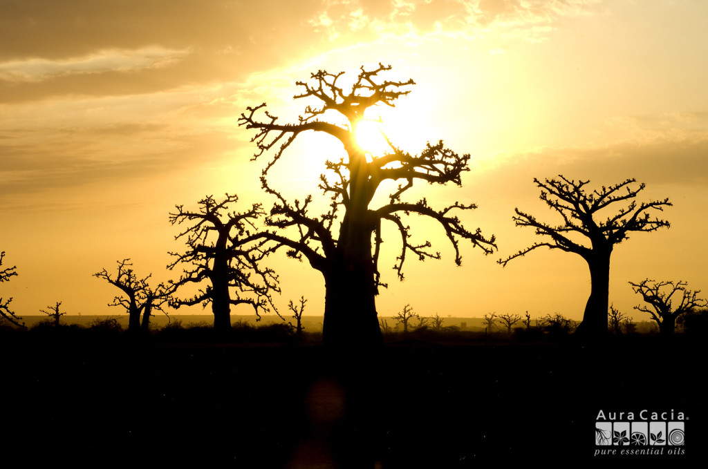 african baobab trees in sunset - photo png jpg
