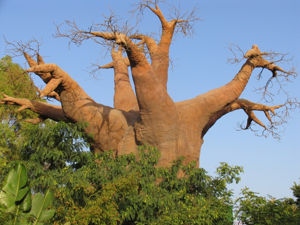 Wonderful baobab tree (Madagascar, Africa)