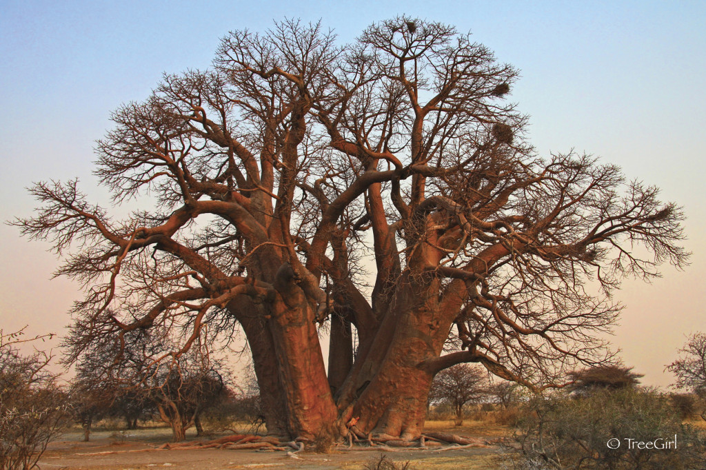 Seven Sisters baobab tree (Adansonia Digitata in Botswana, Africa). Seven Sisters  also known as  Chapman's Baobab or Xaugam