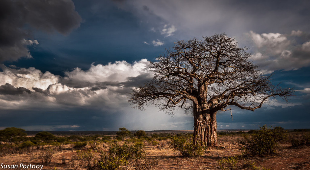 tanzanian baobab tree damaged by elefants (photo by susan portnoy) -- Танзанийский баобаб. Cтвол повреждён слонами