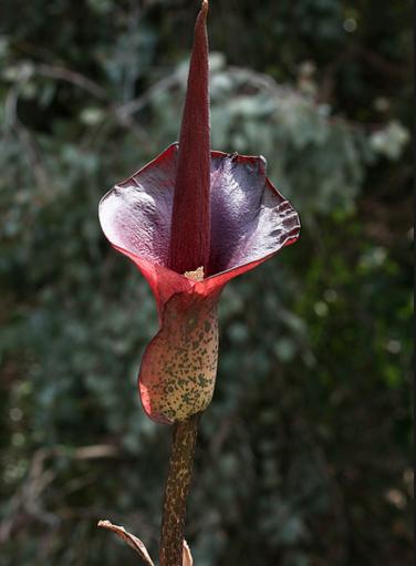 конжак растение